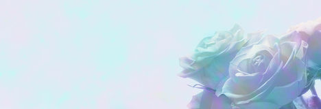 Soft romantic roses banner Stock Photography