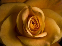 Soft rose. Yellow rose with good texture. Soft with nice color and surface Royalty Free Stock Image