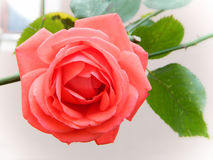 Soft Rose. Beautiful soft colored rose is taken in my garden Royalty Free Stock Photo