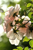 Soft Roses Stock Image