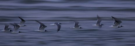 Soft scene of racing seagulls with blue waves in the background Royalty Free Stock Image