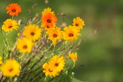 Soft Selective Focus bright yellow and orange spring daisies for. Design background Royalty Free Stock Image