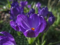 Soft selective focus of close-up purple Ruby Giant Crocus on a sunny spring day. stock images