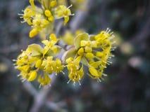 Soft selective macro focus of cornelian cherry blossom Cornus mas, European cornel, dogwood in early spring. royalty free stock photos
