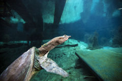 Soft Shell Turtle - Blue Grotto Royalty Free Stock Photos