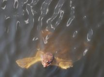 Soft Shell Turtle in the Florida Everglades Royalty Free Stock Image