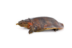 Soft-shell turtles Stock Image