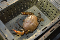Soft-shelled crab fishing Royalty Free Stock Photography