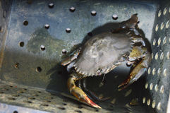 Soft-shelled crab fishing Royalty Free Stock Photos