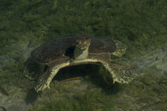 Soft-Shelled Schildpad Stock Afbeelding