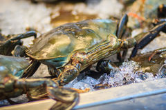 Soft shelled Serrated mud crab (Mangrove crab, Black crab) for s Royalty Free Stock Photo