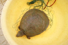 Soft-shelled turtle Stock Images
