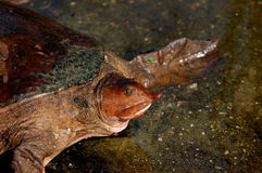Soft Shelled Turtle Royalty Free Stock Photos