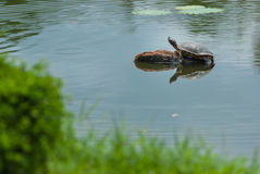 Soft-shelled turtle Royalty Free Stock Photos