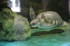 Soft-shelled turtle swim in aquarium Stock Photos