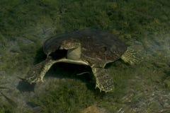 Soft-Shelled Turtle Royalty Free Stock Photo