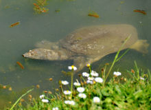 Soft-shelled turtle trionyx spiniferus Stock Photos