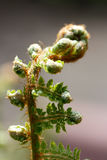 Soft Shield Fern - Polystichum Stock Photo