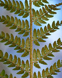 Soft shield fern (Polystichum setiferum) underside of frond. Reproductive sori and sporangia are visible on this fern in the family Dryopteridaceae Stock Photography