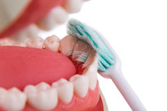 Soft and slim tapered bristle toothbrush brushing in-between tee Royalty Free Stock Image