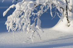 Soft snowy branches in sunshine. With blue background royalty free stock images