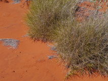 Soft spinifex growing in the desert Stock Image