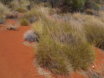 Soft spinifex growing in the desert Royalty Free Stock Photo