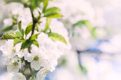 Soft spring apple flowers background. White soft spring apple flowers background. Beautiful Apple Blossoms. Selective focus Royalty Free Stock Images