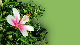 Soft spring hibiscus flower and leafs background, wallpaper. Many uses for advertising, book page, paintings, printing, mobile backgrounds, book, covers, screen royalty free stock images