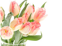 Soft spring tulips on white Royalty Free Stock Image