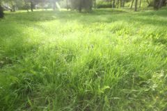 Soft summer background with green grass. Soft summer background with green grass and highlights of sun light on the dew stock photos