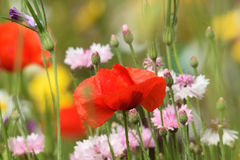 SOFT SUMMER SCENE WITH POPPY. Red poppy in flower bed amongst the Stock Images
