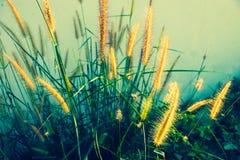Soft sunshine on natural Pennisetum  or hairy fountain grass. Laos royalty free stock photos