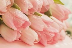 Soft tender tulips of Salmon, pale pinkish orange, light pink color with dew close-up. Spring flowers, abstract romantic. Soft tender bouquet tulips of Salmon stock photography