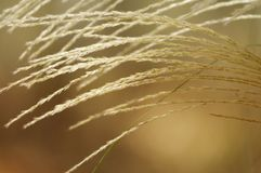 Soft Toned Flowing Grass Royalty Free Stock Photo