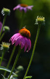 Soft touch of sun. Purple Cone Flowers with bee Stock Photos