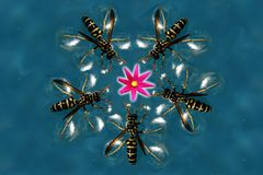 Soft touch of a Wasps on a surface of a water around the blossom royalty free stock photo