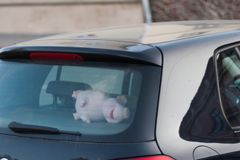 Soft toy in the car, in the form of a pig, a pig behind the wheel royalty free stock photo