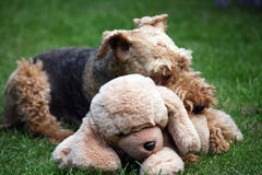 Soft toy dog. Welsh Terrier with soft cuddly toy dog Royalty Free Stock Photos