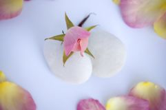 Soft and tranquil. Rose bud and petals with pebbles in soft and tranquil scene as spa or wedding decoration Royalty Free Stock Image