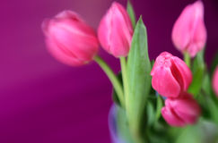 Soft Tulips Royalty Free Stock Photos