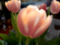 Soft Tulips. An artistic blur of tulips that seem to be lit from within Stock Image