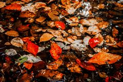 Soft view autumn landscape, autumnal park, fall nature. Soft view of autumn multicolored leaves on the puddle water surface with reflections.Autumnal park, fall Royalty Free Stock Image