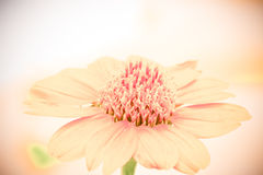 Soft vintage color tone of flower. Soft vintage color tone of the flower Stock Photography