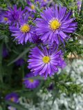 Soft violet daisy aster Royalty Free Stock Photography