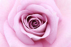 Soft violet rose Royalty Free Stock Image