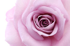 Soft violet rose Royalty Free Stock Photos