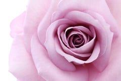 Soft violet rose Royalty Free Stock Photos