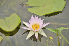 Soft violet water lily. With clear water Stock Image