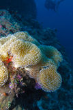 Soft white coral, Indian ocean underwater Royalty Free Stock Photography